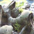 画像5: カークランド 冷凍生えび (サイズ21-25) 908g (5)